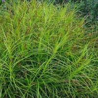Carex mushingumensis