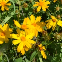 Coreopsis pubescens 'Sunny Side Up'