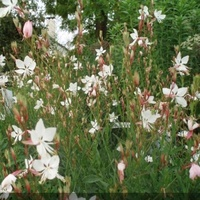 Gaura lindheimeri 'Summer Breeze'
