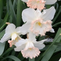 Narcissus 'Most Delicious' (Pack of 5)