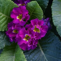 Primula 'Primlet Purple'