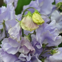 Lathyrus 'Charlies Angel'