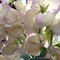 Lathyrus 'April in Paris'