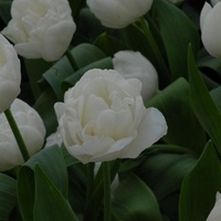 Tulip 'White Heart' ( Pack of 5)
