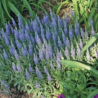 Veronica spicata 'Blue Sensation'