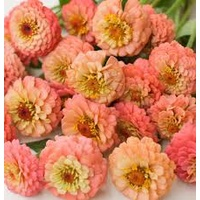 Zinnia 'Lilliput Salmon'