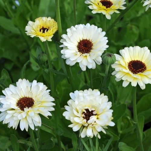 Calendula officinalis 'Ivory Princess''