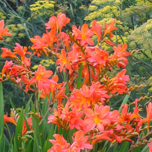 Crocosmia 'Severn Sunset'
