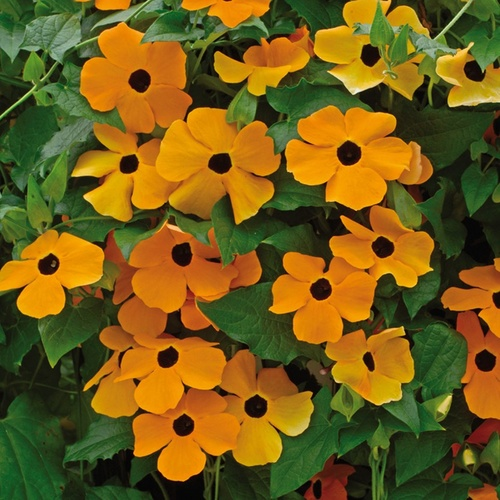 Thunbergia alata 'Sunrise Orange'