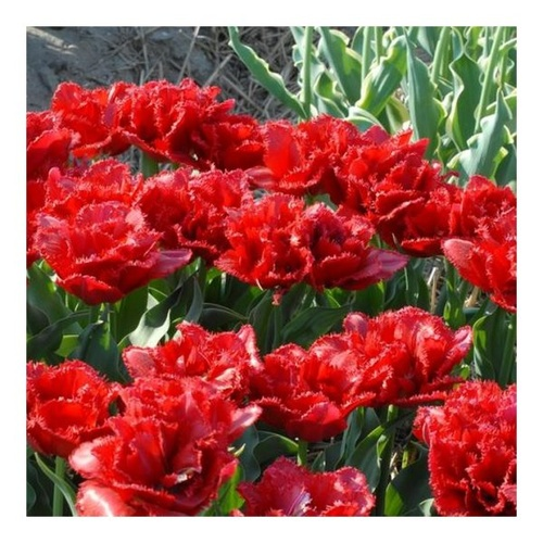 Tulip 'Lion King' ( Pack of 5)